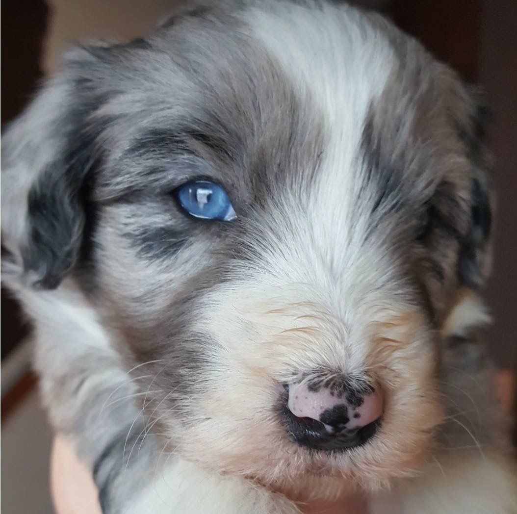 Blue Merle With Blues Eyes Aussiedoodle Puppy 3 Weeks Old