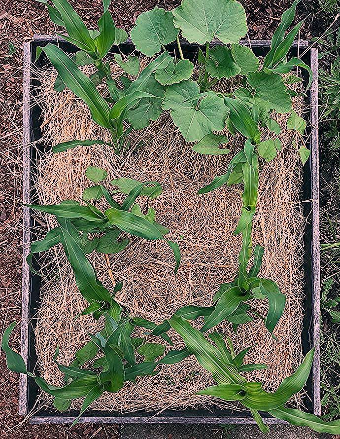 Photo of Die drei Schwestern | Gemüse-Wohngemeinschaft im Indianerbeet – Gartenblog Hauptstadtgarten