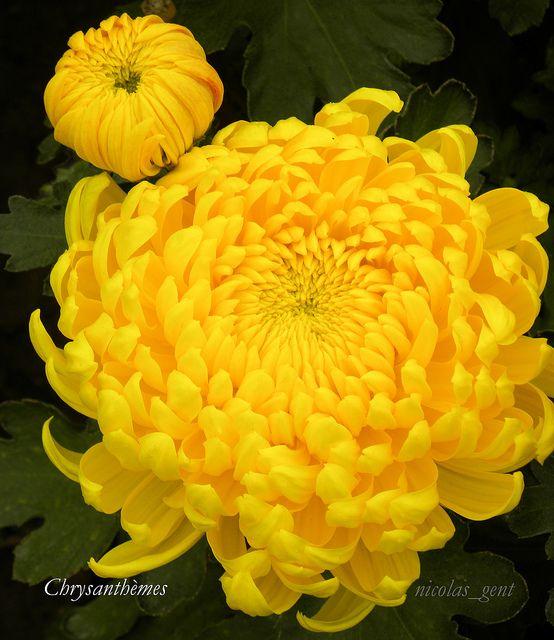 The Golden Flower Chrysanthemum Flower Flower Seeds Chrysanthemum Seeds