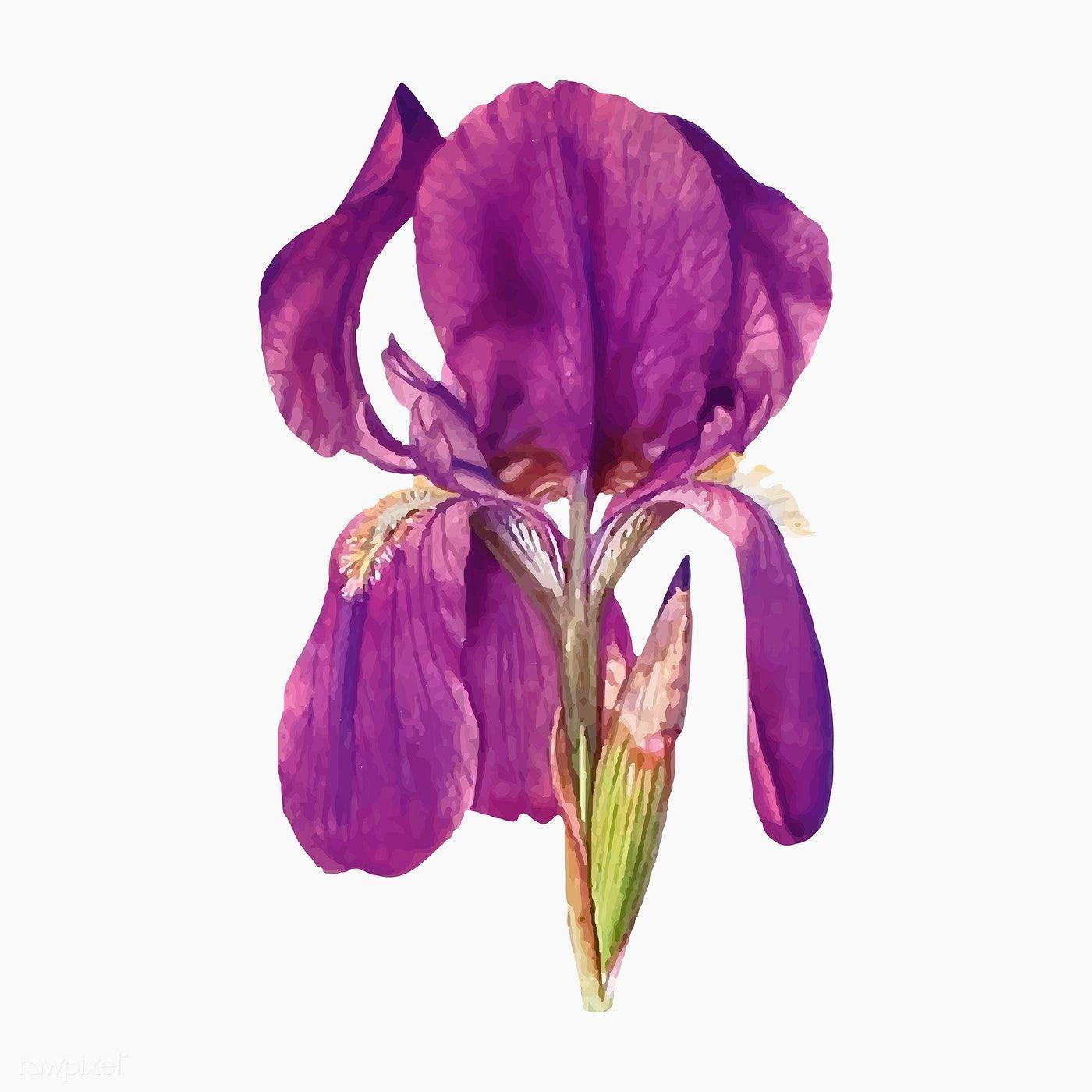 Download Premium Vector Of Vintage Iris Flower Illustration Vector 2098391 In 2020 Flower Illustration Iris Flowers Flower Painting