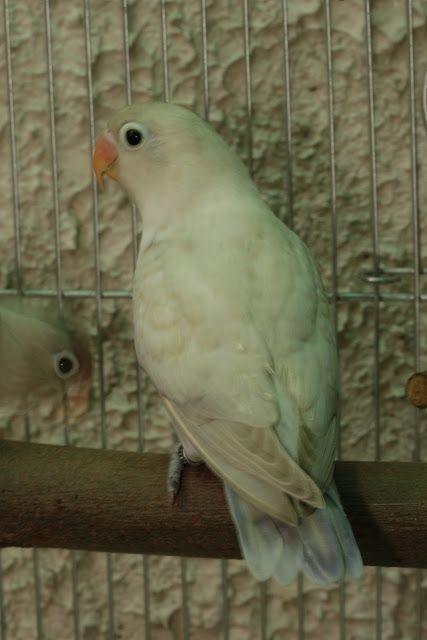 Mauve Pied African African Lovebirds Love Birds African