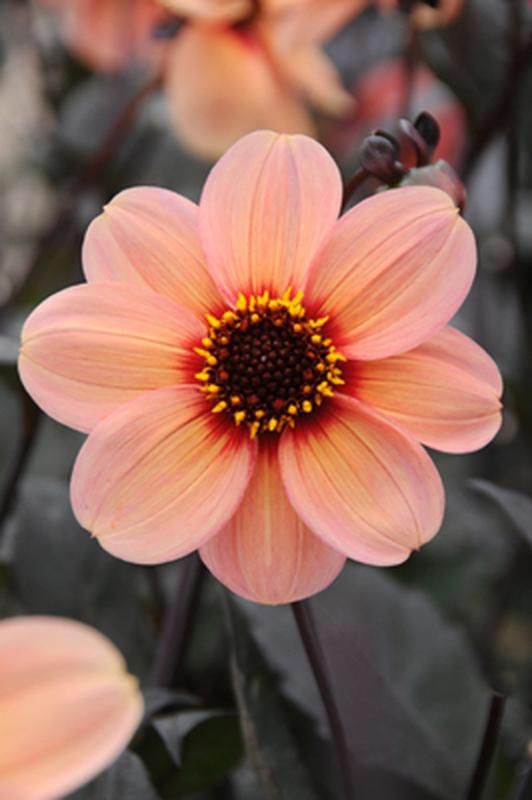 Förpackningen Innehåller 1 St Dahlia Knöl Dahlia Blommor Sommarblommor