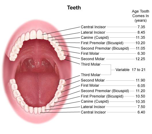 GetImage.aspx (530×470) | Dentistry | Pinterest