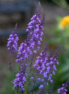 Linaria Purpurea Toadflax Tiny Violet Blue Snapdragon Like Flowers Over Narrow Whorled Blue Grey Leaves Blooms Al Plants Shade Plants Planting Flowers