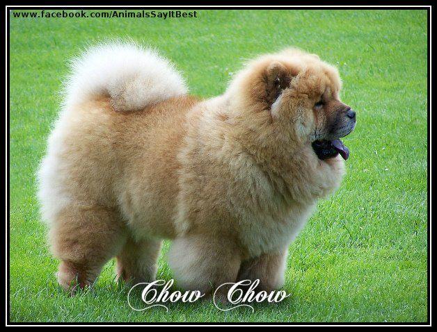 Chow Chow Hunderassen Chow Chow Welpen Hunde Rassen