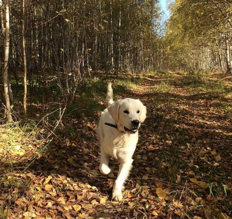 65 Uncommon Golden Retriever Dog Names Dog Names Dogs Golden Retriever Golden Retriever