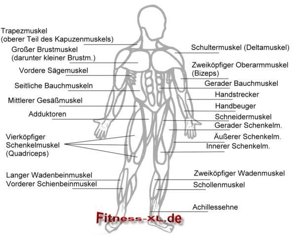 muskeln | Gesundheit | Pinterest | Muskel, Medizin und Gesundheit