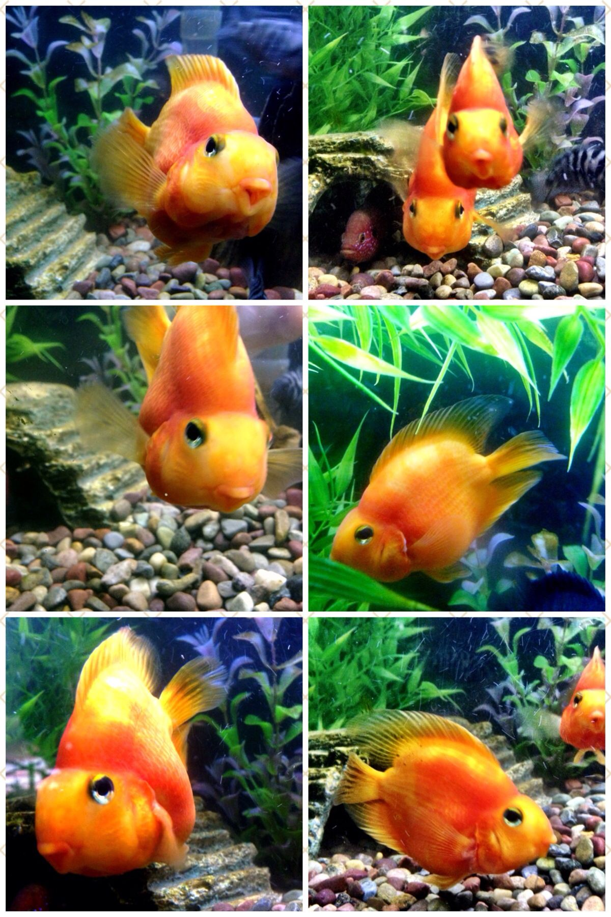 parrot cichlids | What a girl wants | Freshwater aquarium ...