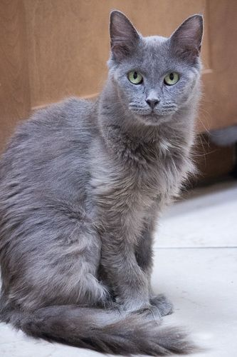 Bluebelle Domestic Medium Hair Gray Cat Chicago Il Pets Cats Grey Cats