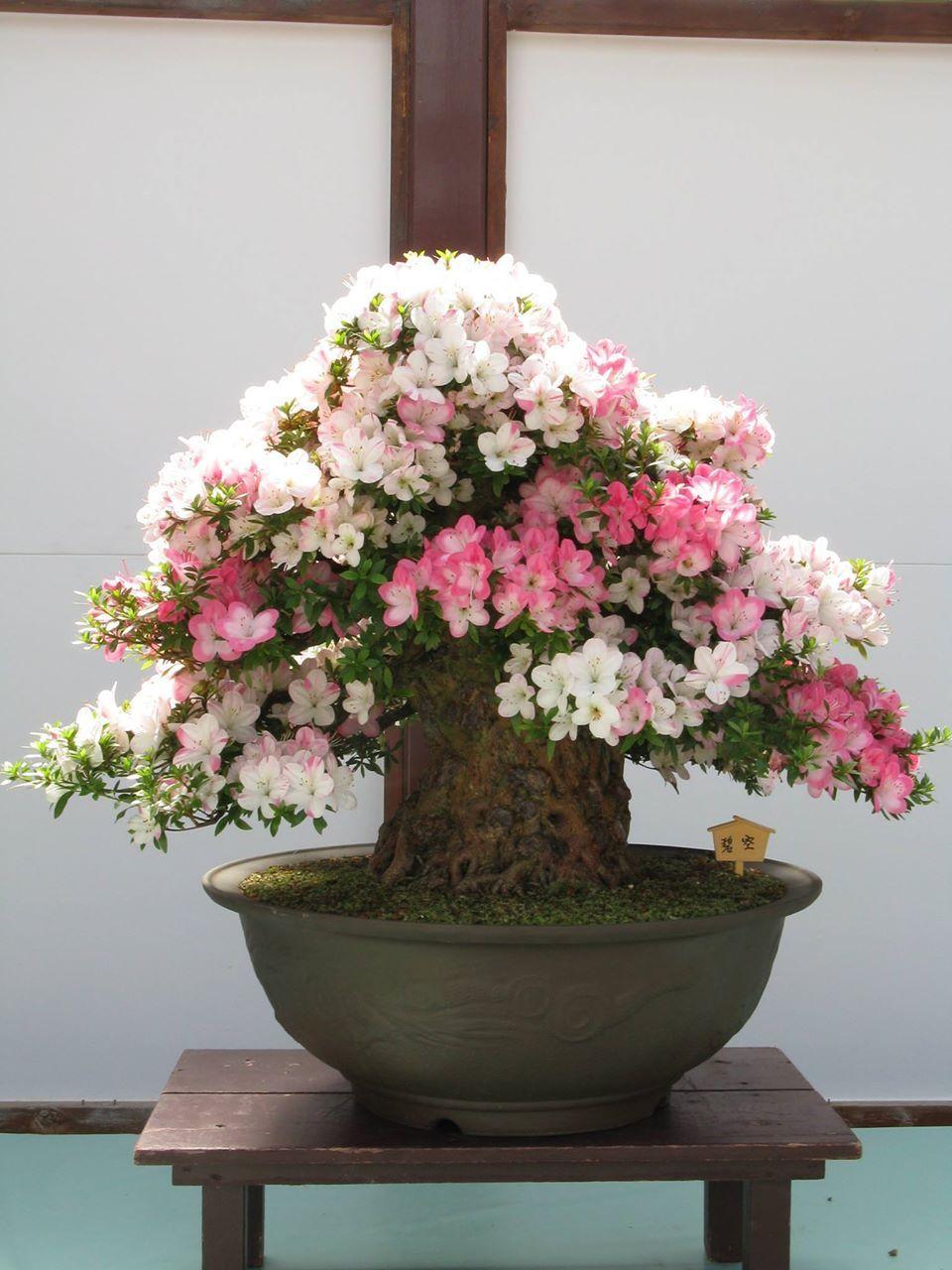 Bonsai Tree With Pink White Flowers Plants Bonsai Trees