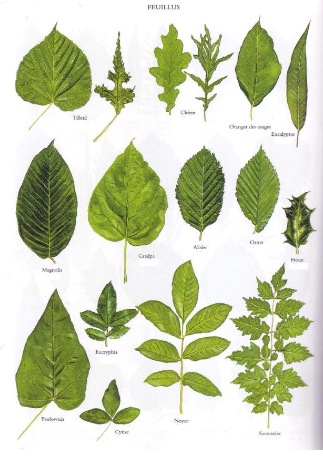 разновидности листьев деревьев с названиями и фото прическу стоит
