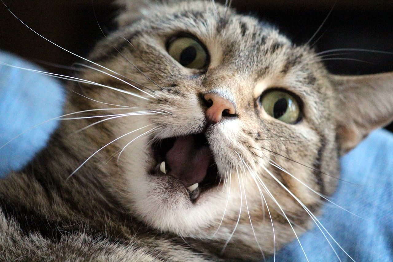 Why Your Cat Must Have An Annual Dental Cleaning Cat Behavior Cats And Kittens Cats