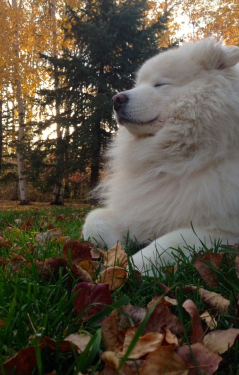 Zoot Suit Samoyed Dogs Dogs Puppies