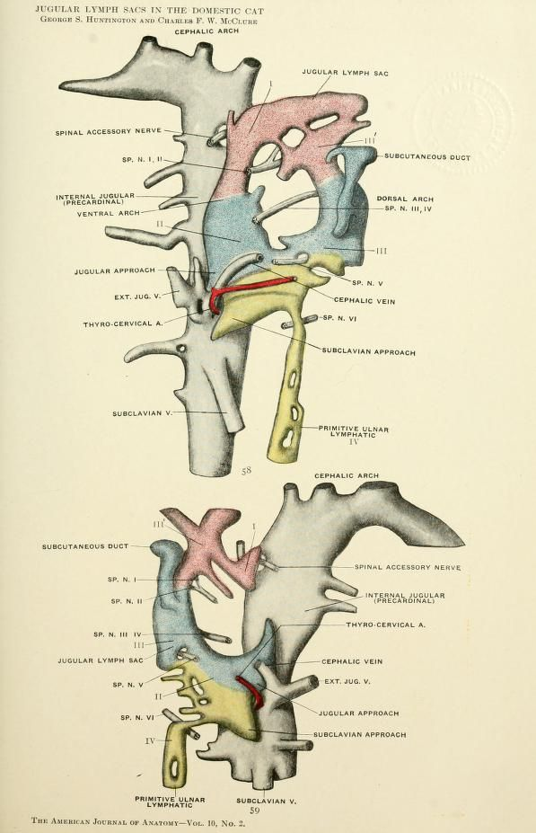 The American Journal Of Anatomy Anatomical Pinterest Anatomy
