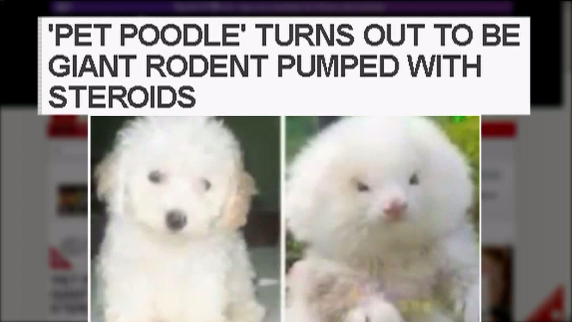 Poodle Or Weasel Toy Poodle Ferret Poodle