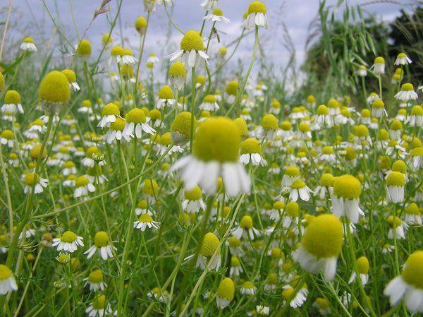 Chamomile Seeds German Heirloom Herb Chamomile 640 x 480