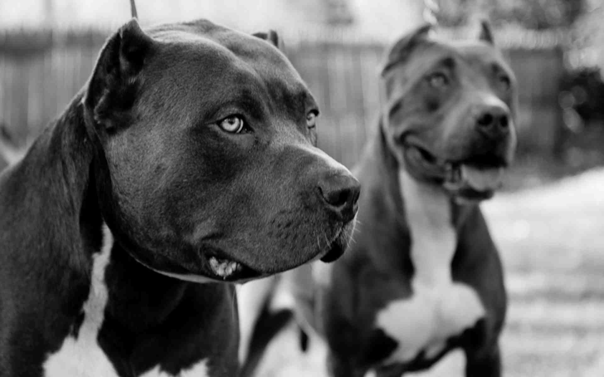 Pitbull wallpapers two pitbulls in black and white dogs - Pitbull dogs pictures wallpaper ...