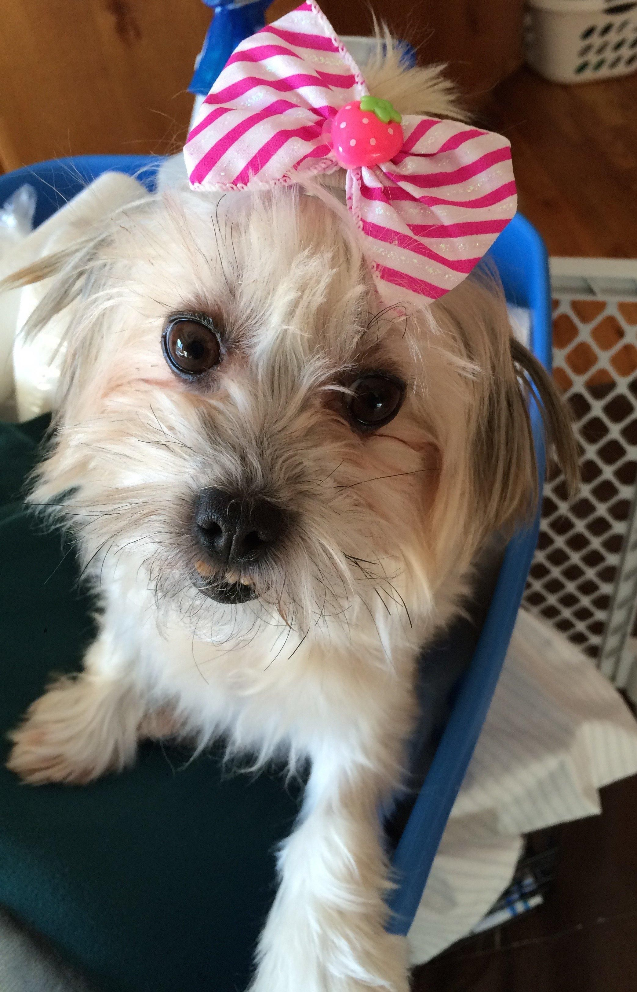 Meet Vienna in Minneapolis, MN, an adoptable Havanese