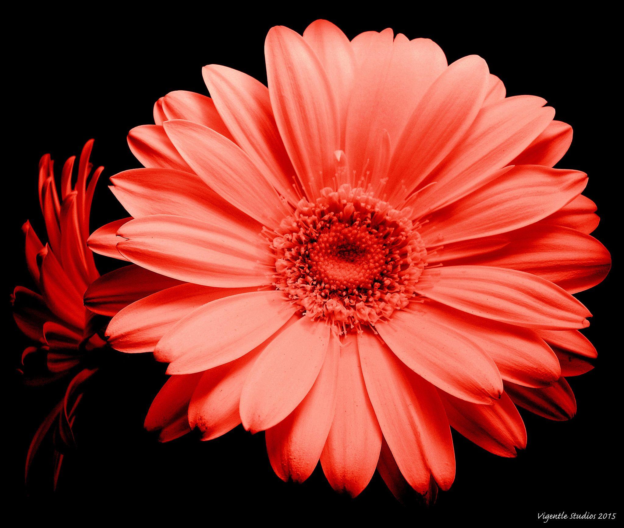Red Gerbera Flower Heads By Vigentle On 500px With Images Gerbera Flower Pink Gerbera Flowers