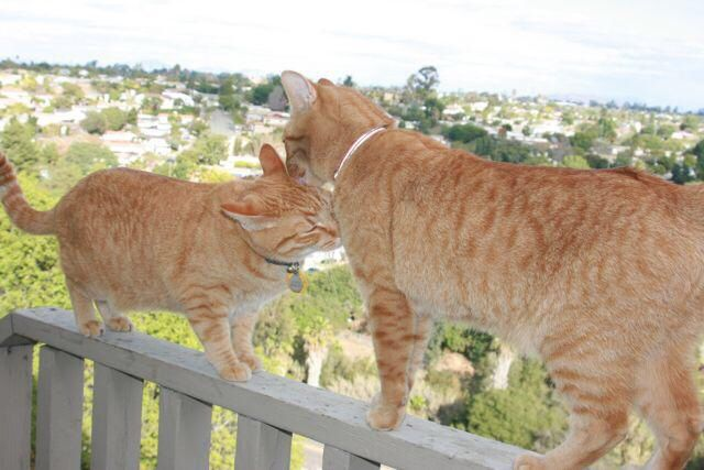 Two Devoted Orange Tabby Cat Brother Litter Mates Named Jack And