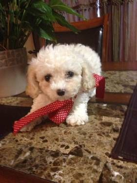 Shoodle 1st Generation Shih Tzu X Toy Poodle In Perth Western
