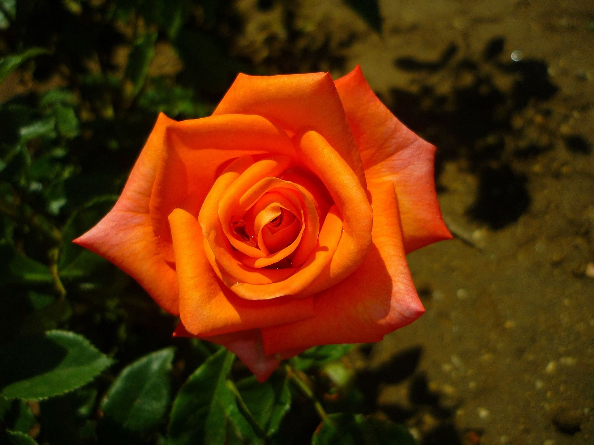 Orange Rose Wallpaper Pictures 10487