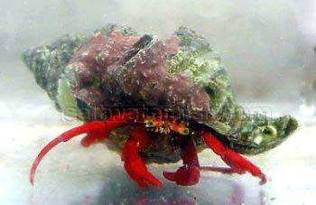 Scarlet Hermit Crab Group Of 50 Invertebrates Crabs Hermit Crab Crab Salt Water Fish