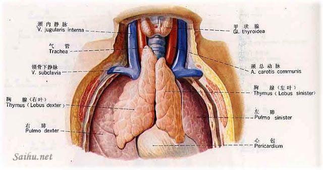 胸腺(thymus gland) - 小小整理網站 Smallcollation   anatomy ...