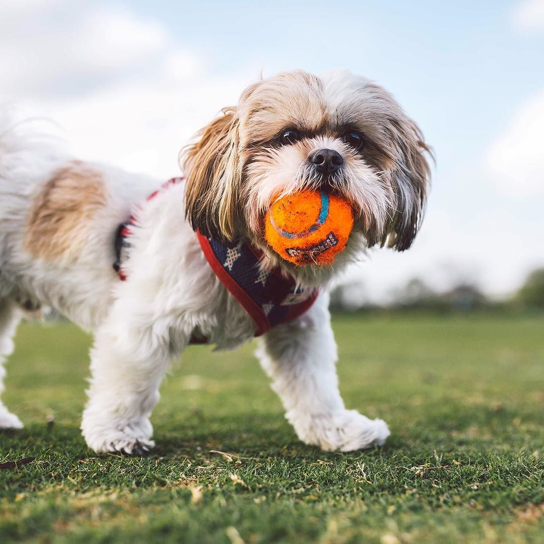 Barkley the 2yr old Shih Tzu who stole this ball.  #zilkerbark by zilkerbark