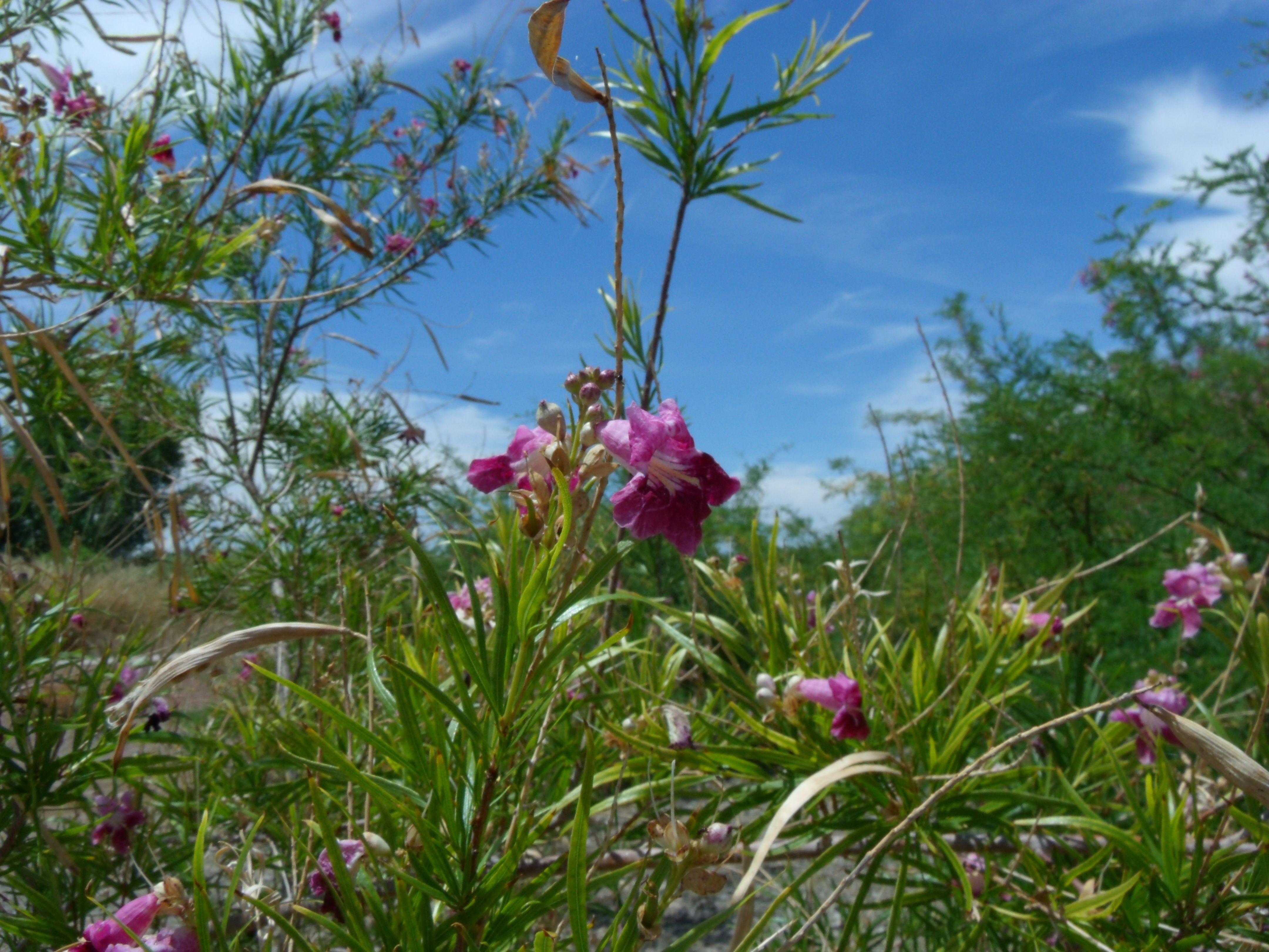 Las Vegas Wetlands flowers