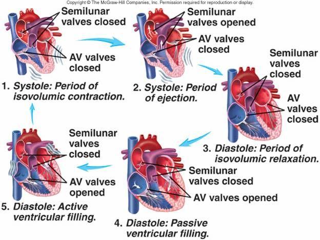 Cardiovascular System I: Heart | Cardiovascular system | Pinterest ...