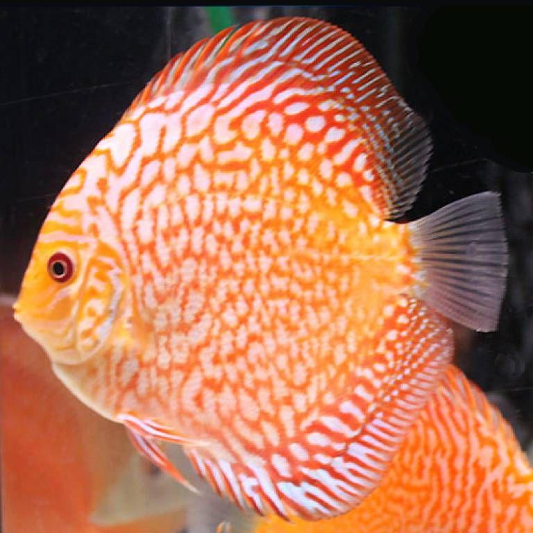 Discus Fishdiscount Beautiful Fish Discus Fish Aquarium Fish