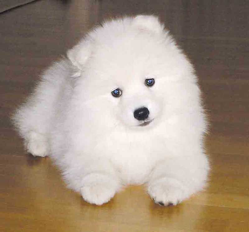 These Japanese Spitz are so cute, I may pin a million of