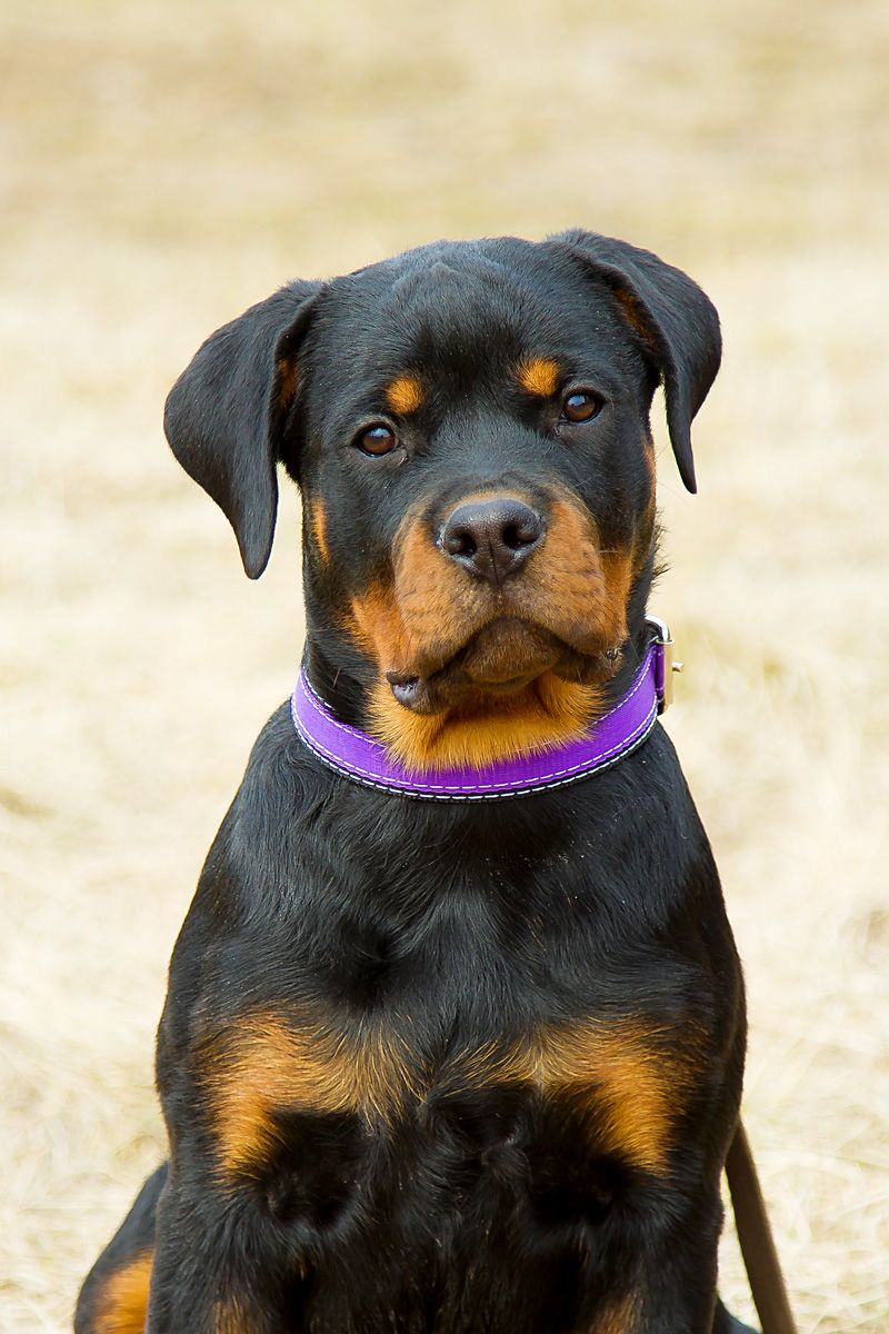 Clever Smart And Loyal Rottweiler Puppy Rottweiler Puppies For
