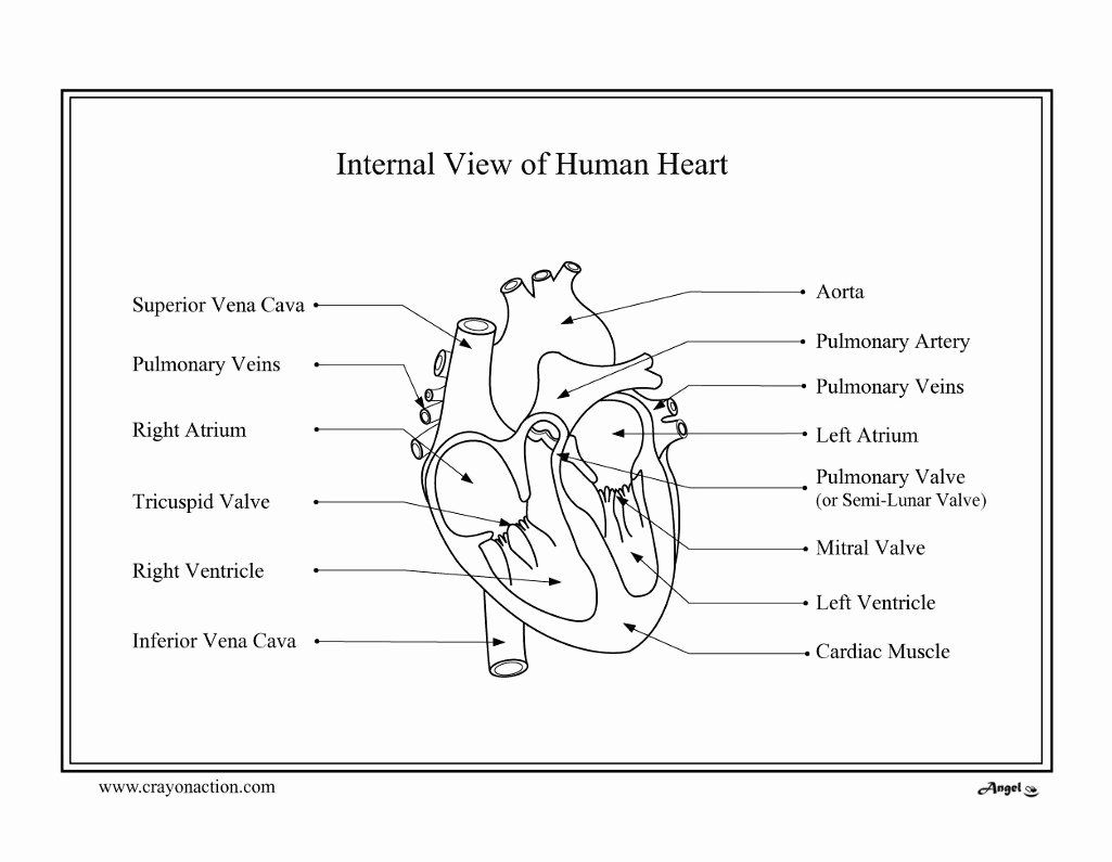 Human Heart Coloring Page Lovely Heart Diagram Coloring
