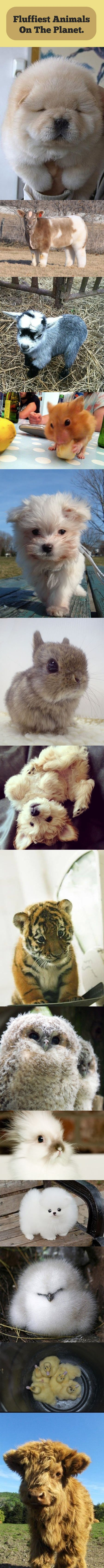 Too much fluffiness… The fluffiest animals on the planet. My dog should be on here.