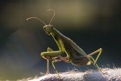 European Mantis - Europäische Gottesanbeterin (Mantis religiosa) ♀, image captured on 2008:08:30 18:53:23 in Büchelberg, Germany
