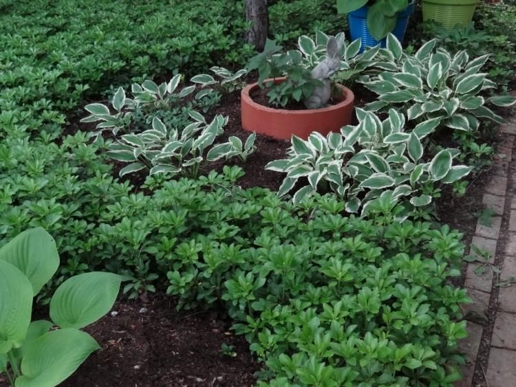 plantes couvre sol croissance rapide dans le jardin moderne jardinage belles plantes trucs. Black Bedroom Furniture Sets. Home Design Ideas