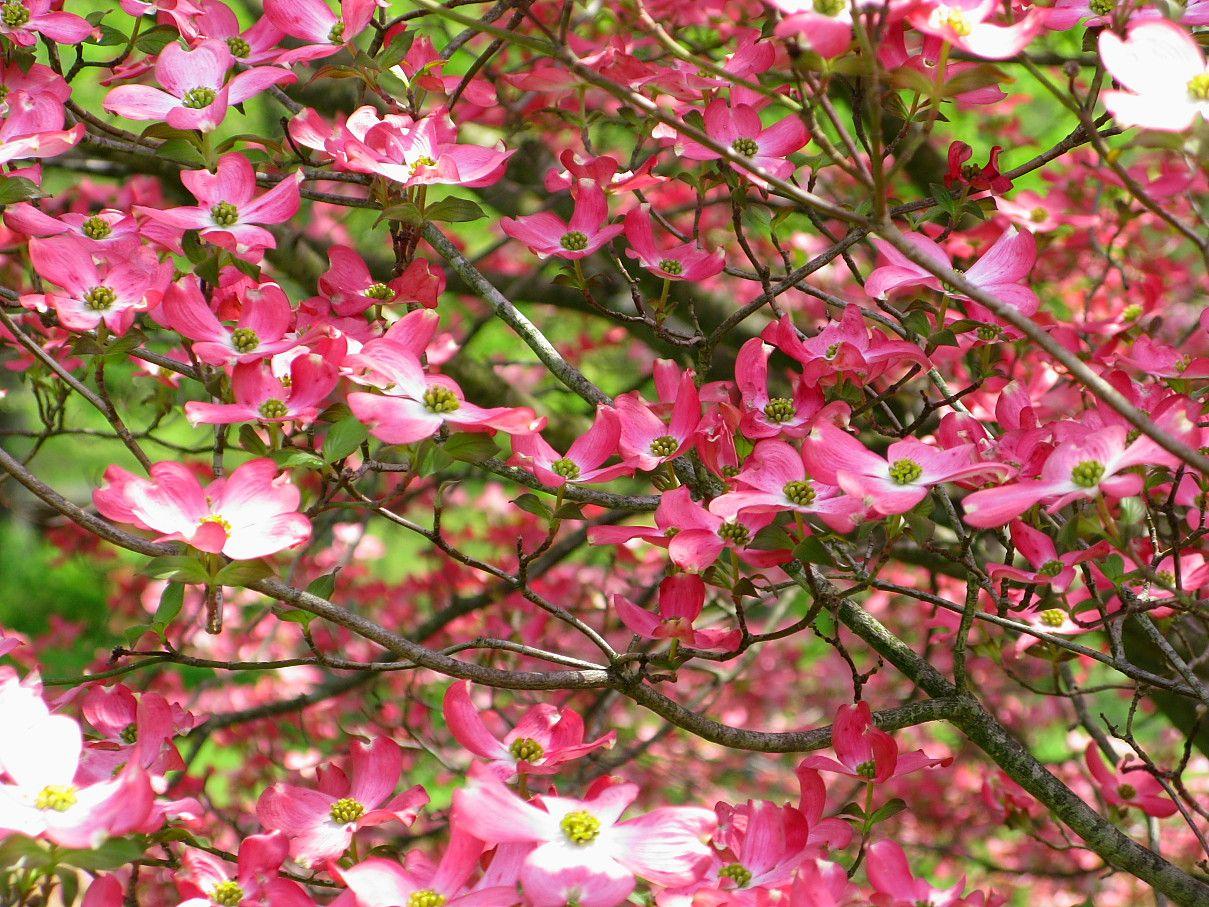 pink dogwood Dogwood trees, Dogwood tree flower