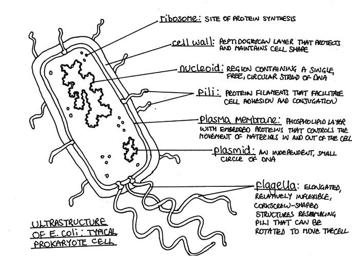 Prokaryotic Cell - A prokaryotic cell is by definition a cell that ...