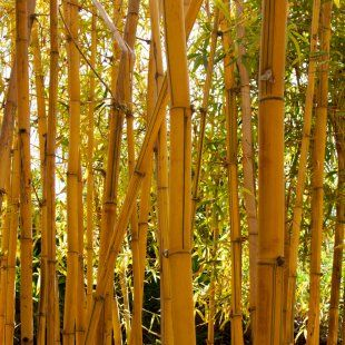 Golden Bamboo Hedge Plants Bamboo Pinterest Plants Bamboo Ja