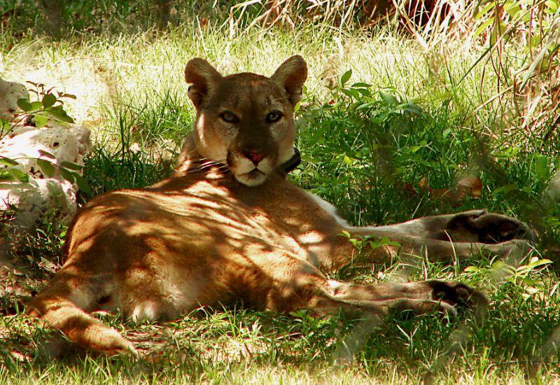 Florida Panther at Ellie Schiller Homosassa Wildlife State ...