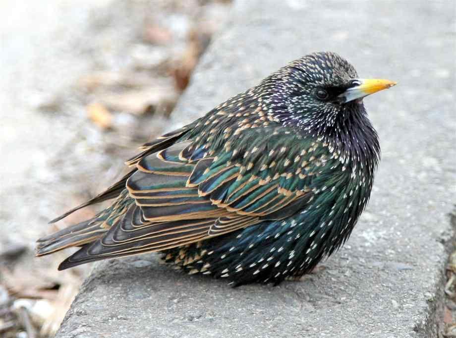 European Starling | Birds | Pinterest | Bird, Beautiful ...