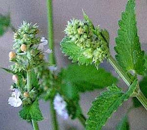 HCN) CATNIP~Seeds!!!!!!~~~~~~Kitty Will Love You Forever ...