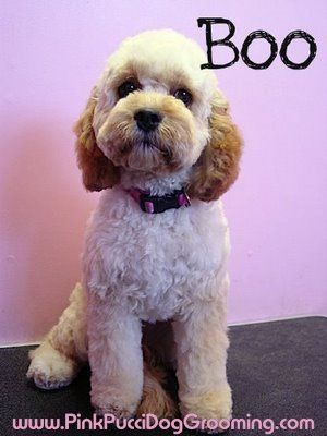 Boo Cockapoo Dog Grooming Styles Cockapoo Grooming Cockapoo Dog
