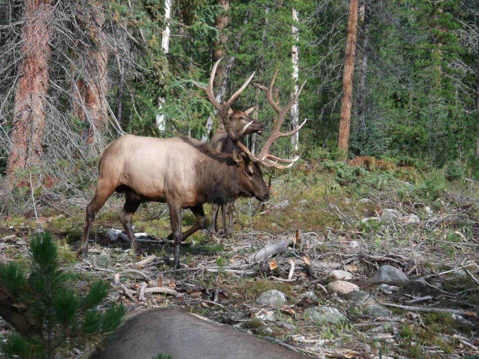 Colorado Bull Elk Huntress / Outdoors Woman Pinterest