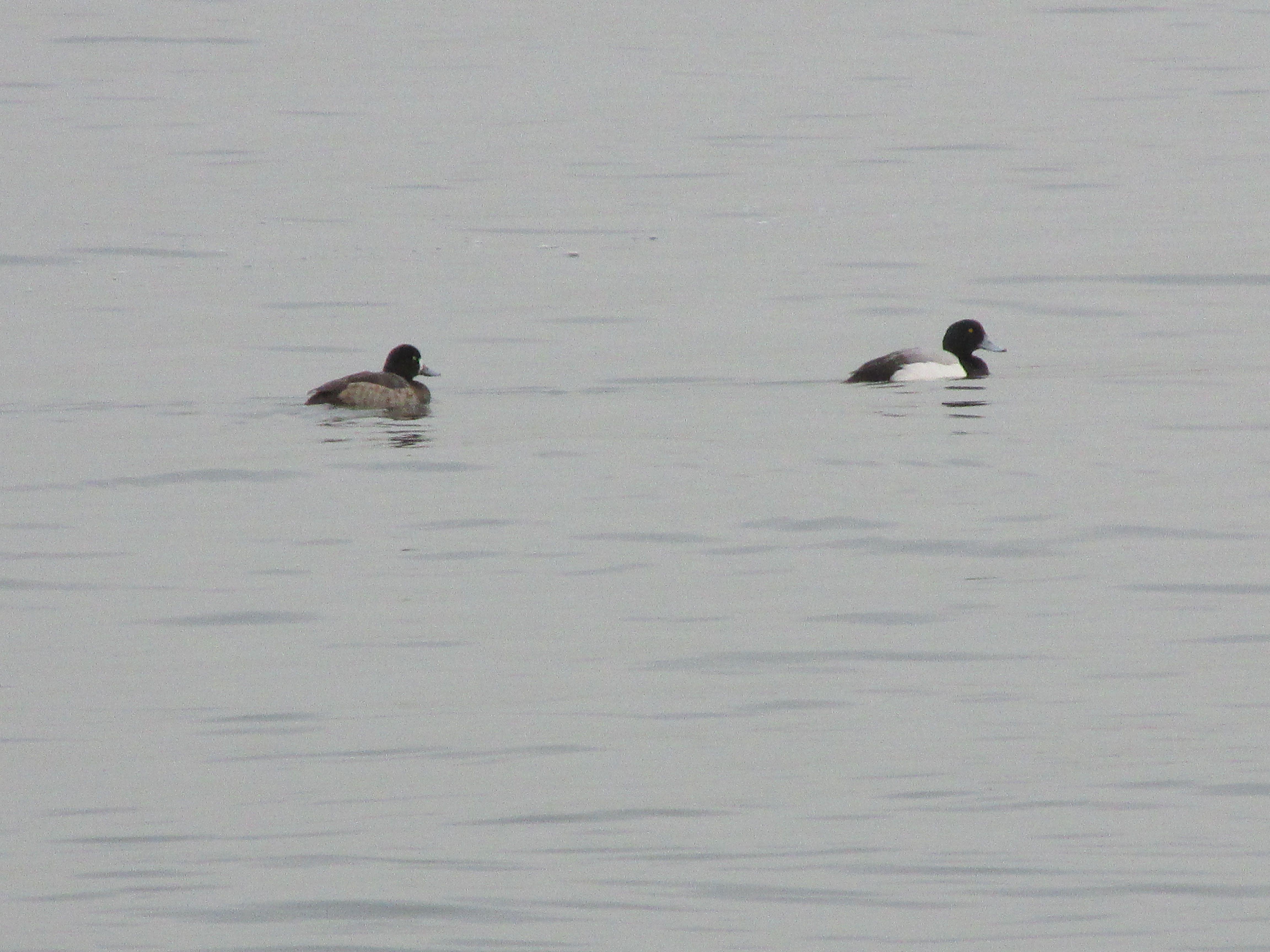 Lesser Scaup pair - Gulf Beach, Milford, CT.