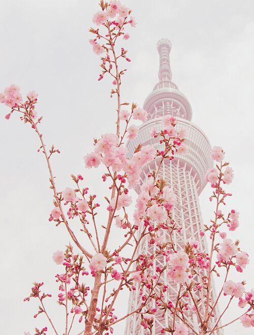 Lovesomnia Tamat Latar Belakang Bunga Sakura Ilustrasi Bunga Sakura