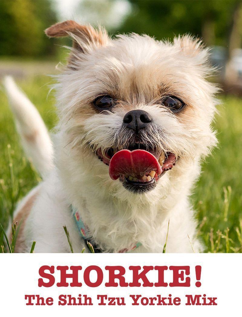 Shorkie Shih Tzu Yorkshire Terrier Mix Pitbull Terrier Dog