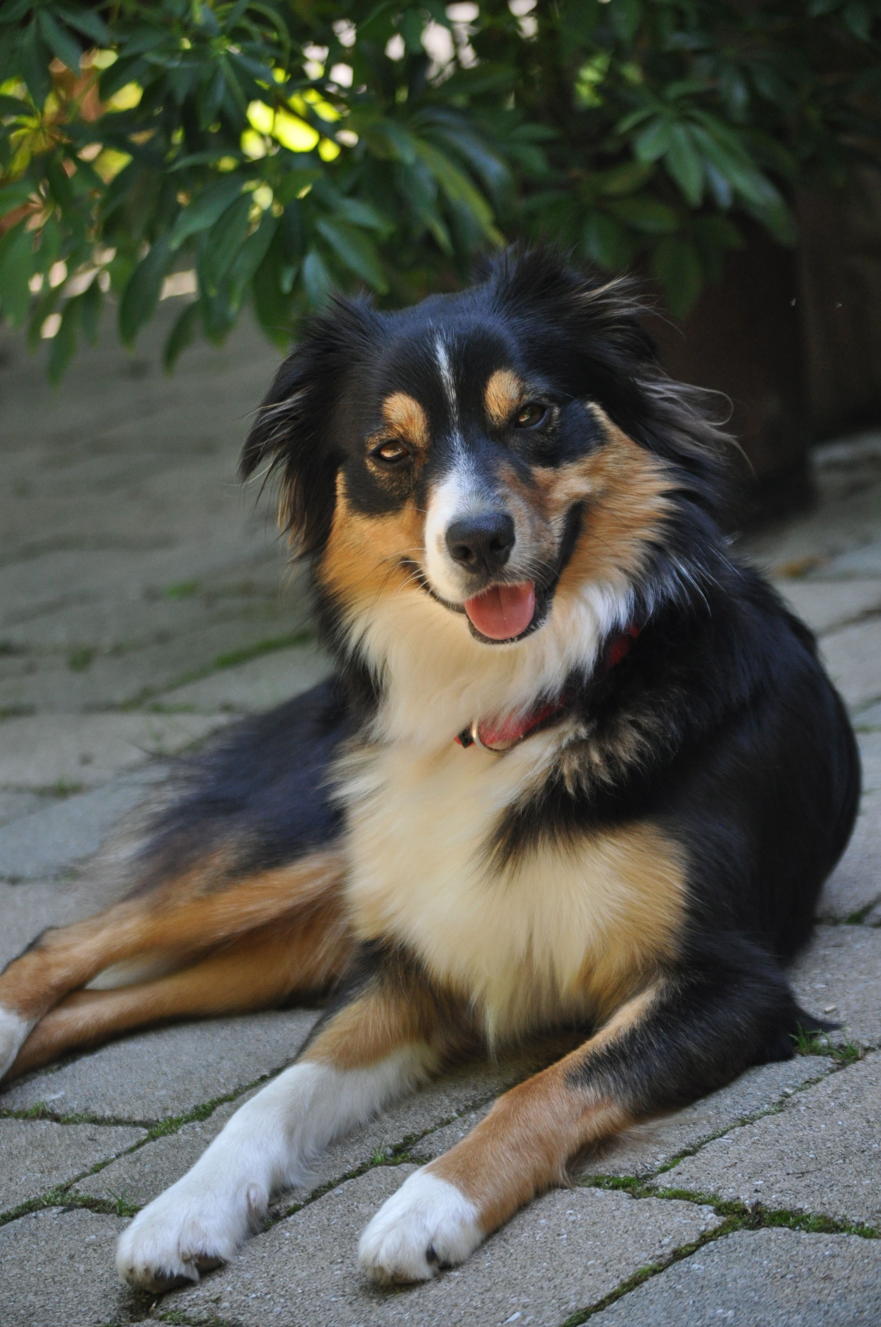 Matilda, our Australian Shepherd.